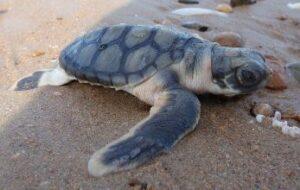 Австралийская плоскоспинная морская черепаха