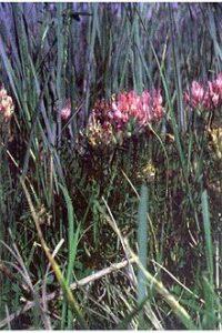 Astragalus agrestis