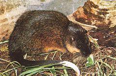 Австралийские водяные крысы